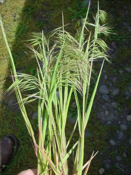 grass seed head instruction planted in soil