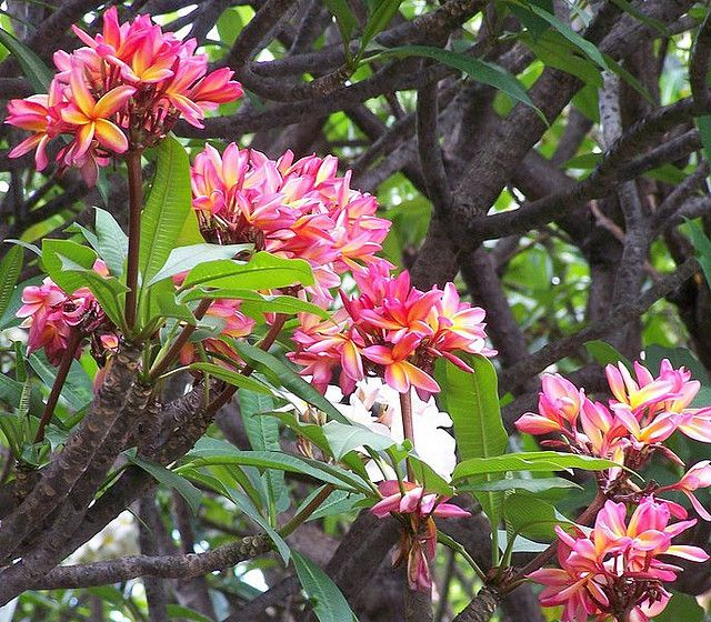 instructions on how to grow a frangipani plant